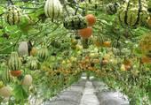Jardin de cucurbitacées