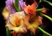 Jolie fleur de glaieul
