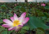 Des lotus en fleur