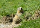 Madame Marmotte