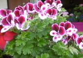 Plargonium très lumineux