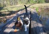 Chat et canard ...2 copains
