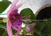 fleur de Fuchsia XXL