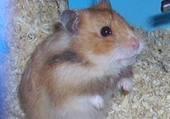 BELLE  mon hamster