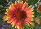 fleur appelée gaillarde