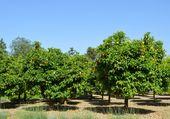 plantation  d orangers