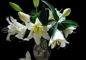 lys blancs odorants