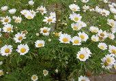 Anthémis en fleurs