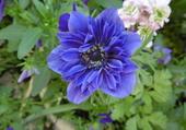 Anémone de Caen bleue et double