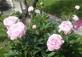 Mes pivoines roses