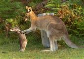 Puzzle Kangaroo joey