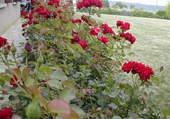 Les roses embaument....