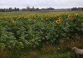 champ de tournesols en Gironde