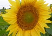 le tournesol pleine fleur