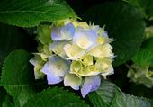 une fleur hortensia