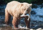la pêche de l'ours