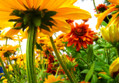 Fleurs vues du sol