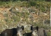 les cochons du Faron