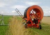 Irrigation millet