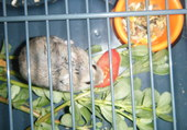 Igor mon hamster