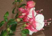 fuchsia fleurs xxl