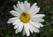 insecte sur marguerite