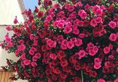 Très beau rosier