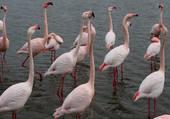 Les flamans rose
