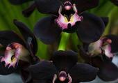 orchidées noires