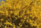 Arbustes en fleurs