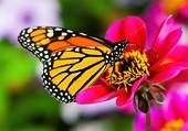 Puzzle beau papillon