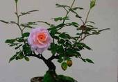 bonsai rosier