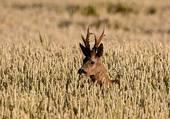 Puzzle Caché dans les blés