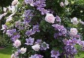 Clématite et roses