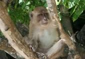 Singe sauvage en Thaïlande