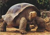 tortue geante