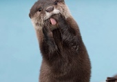 Puzzle funny otter