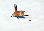 Puzzle Fox and mouse