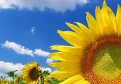 Fleurs soleil