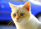 IZIS Beau chat