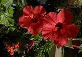 Deux hibiscus rouges amoureux