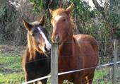 chevaux en bord de Garonne