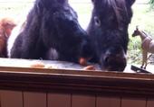 poneys dans la maison