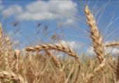 céréales blé tendre