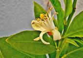 Fleur de citronnier 1
