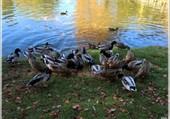Puzzle l'étant des canards