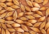 céréales : orge