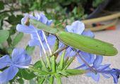 mante religieuse sur fleur de plumbago