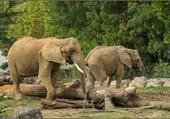 Elephants avec leurs défenses