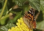 Papillon butine les lantanas